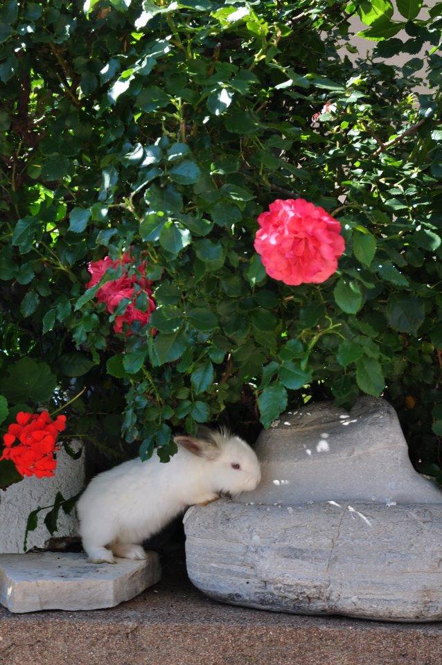 Bijeli zec